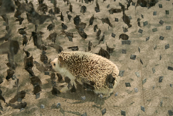 © Claire Morgan - Clearing, cube of black feathers and hedgehog, cubo di piume nere e riccio, 2009