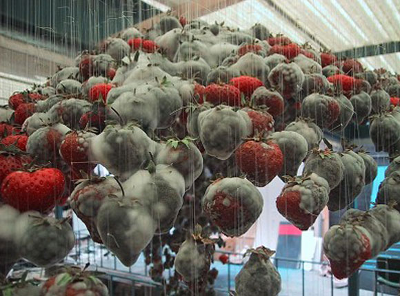 © Claire Morgan - Untitled, rotten strawberries, fragole ammuffite, 2002
