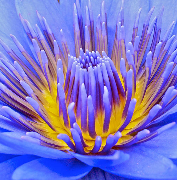 blue and yellow flower - fiore giallo e blu © Getty Images