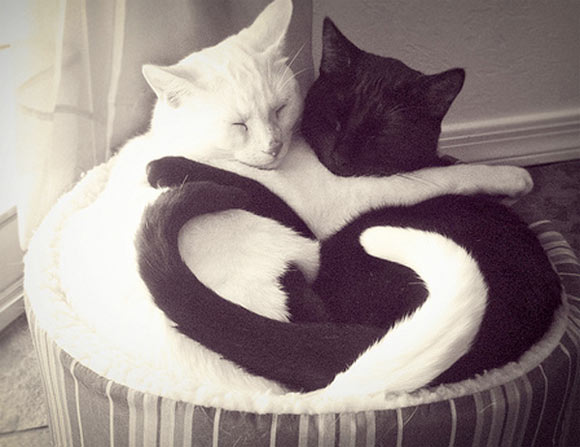 white and black cat love, gatti a forma di cuore