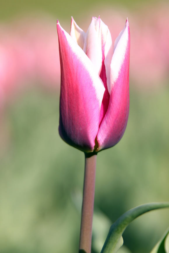 pink tulip, tulipano rosa