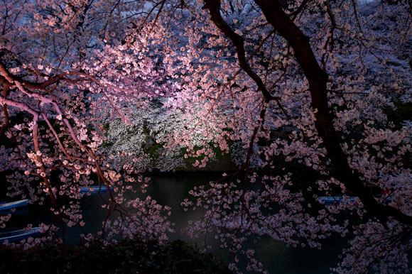 Cherry Tree, alberi di ciliegio