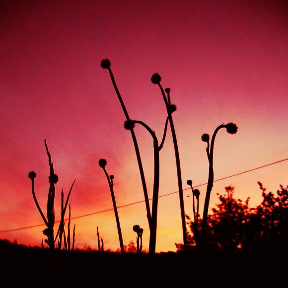 Sunset Dandelion Inspiration