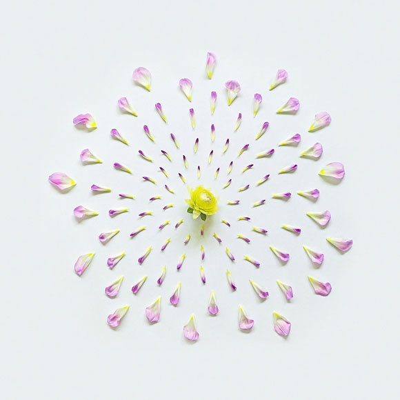 Fong Qi Wei - Exploded Flowers, Dahlia Exploded