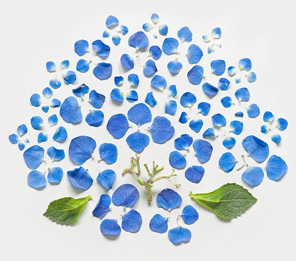 Fong Qi Wei - Exploded Flowers, Hydrangea Exploded
